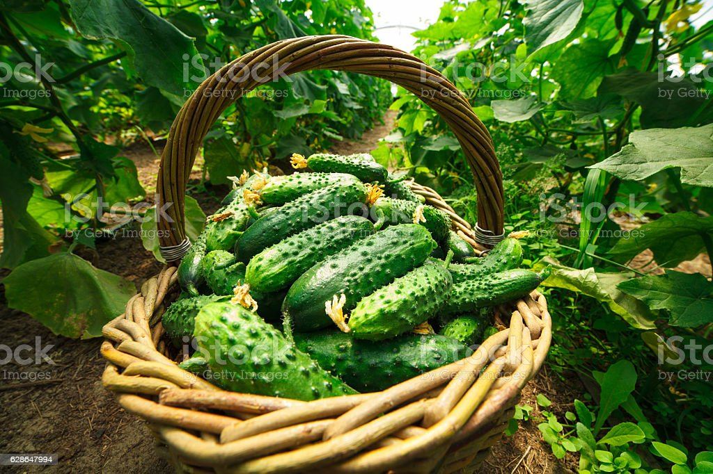 Cucumbers are folded in a basket greenhouse stock photo