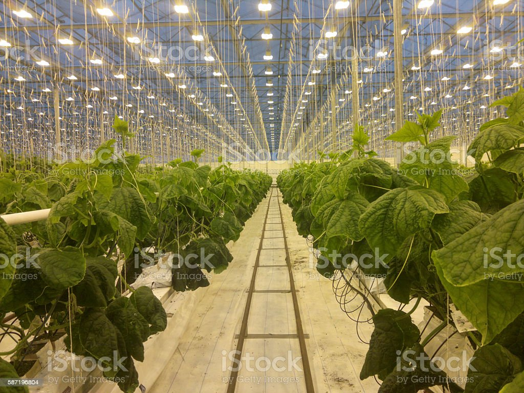cucumbers growing in a greenhouse stock photo