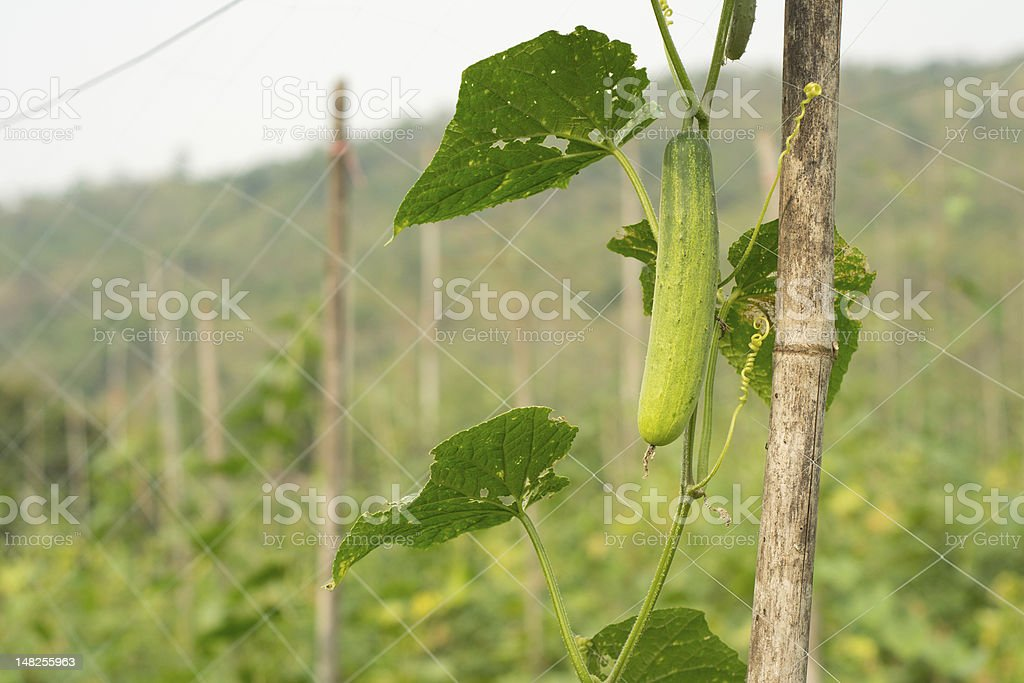 Cucumbers growing on a vine royalty-free stock photo