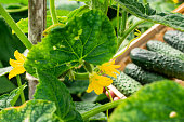Cucumbers in  basket and blossom of cucumber on the vine