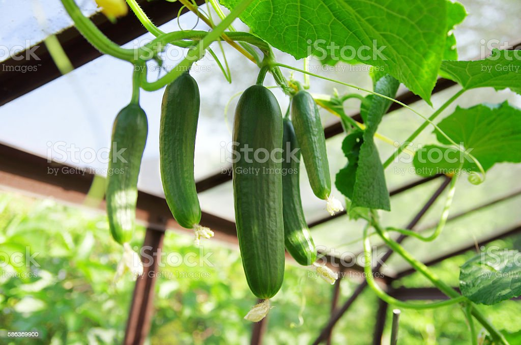 Cucumbers in greenhouse. Growing cucumbers. stock photo