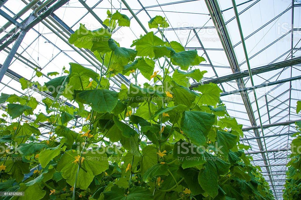 Cucumbers ripening in greenhouse stock photo