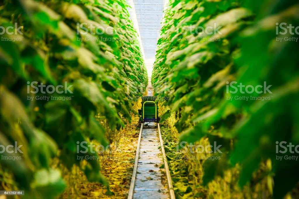 Cucumbers ripening in greenhouse stock photo