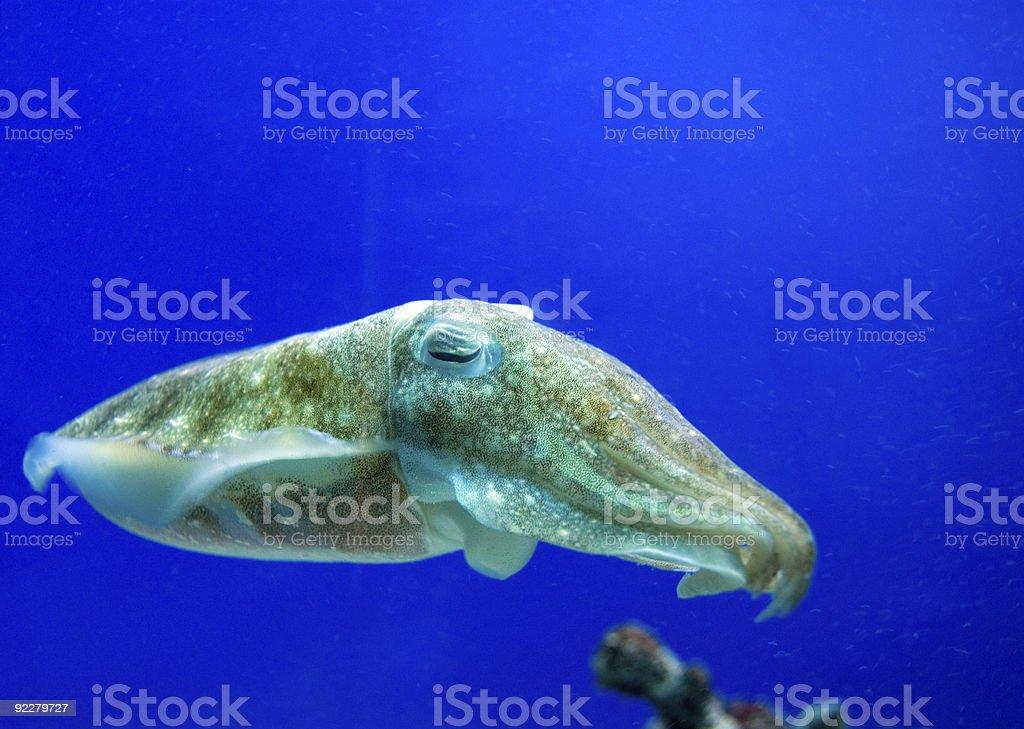 Cuddlefish stock photo