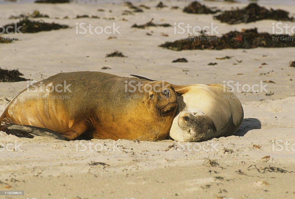 Cuddling Sea Lions royalty-free stock photo