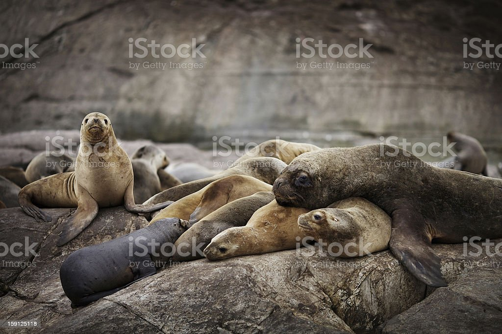 Cuddly Family of Wild Sea Lions royalty-free stock photo