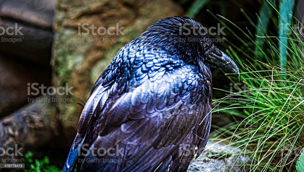 Cuervo, Raven Crow stock photo