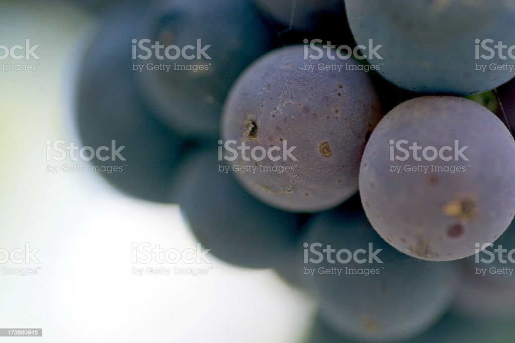 Culinary: Cabernet Sauvignon Grapes Macro stock photo