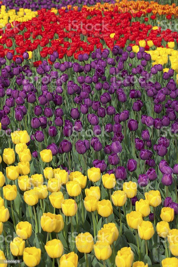 Culorful Tulip Array royalty-free stock photo