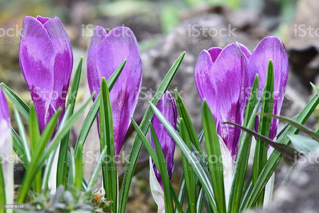 cultivated blue saffron royalty-free stock photo