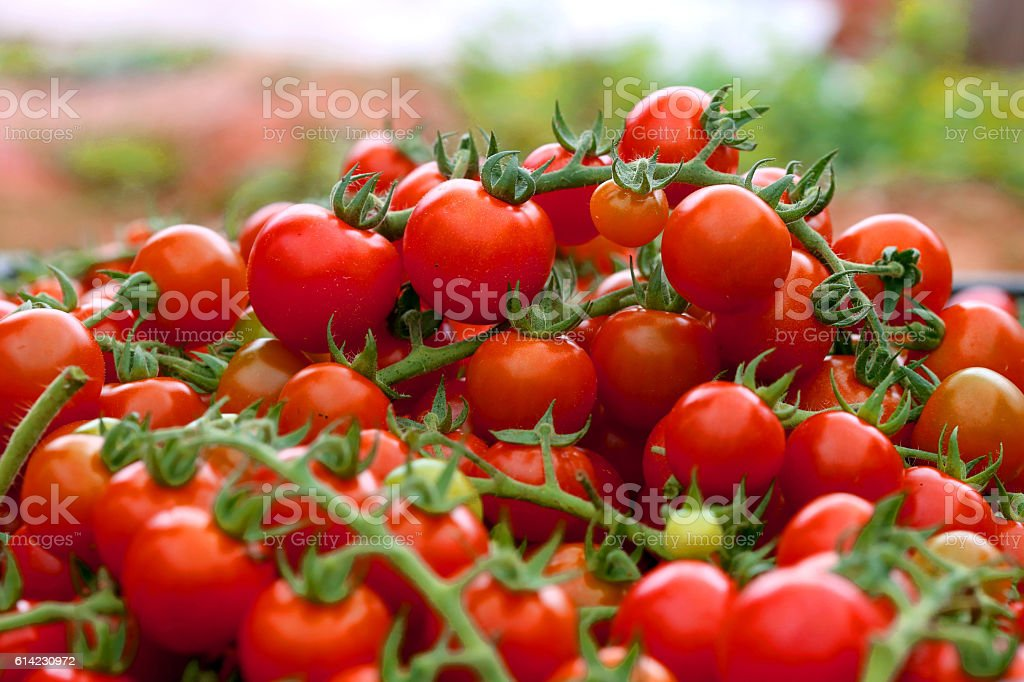 Cultivated Cherry tomatoes stock photo