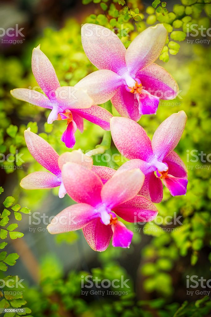 Cultivated Pink Orchid flowers stock photo