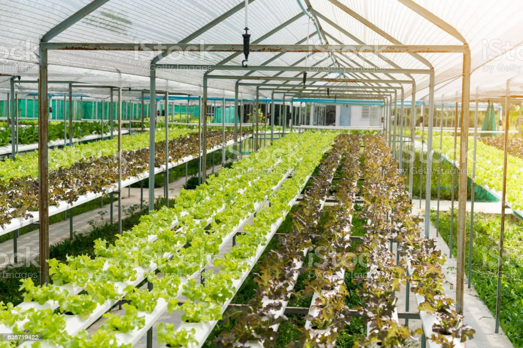 cultivation hydroponics green vegetable in farm stock photo