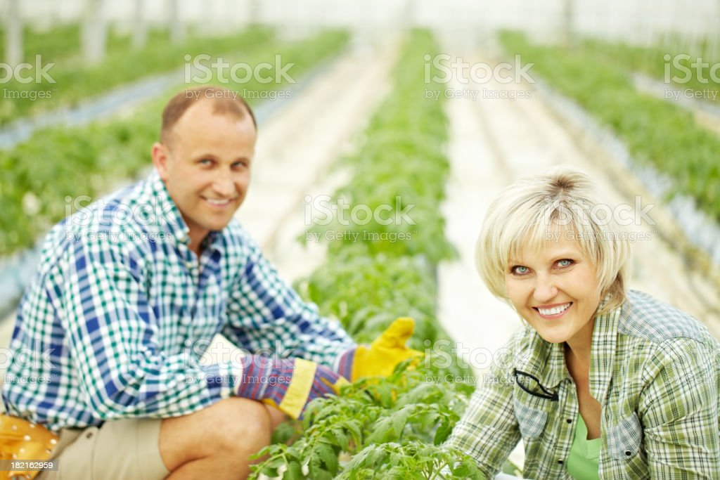 Cultivation in greenhouse royalty-free stock photo