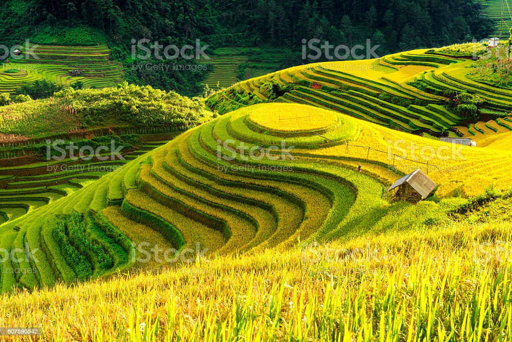 Cultivation in vietnam Rice fields terraced  prepare harvest stock photo