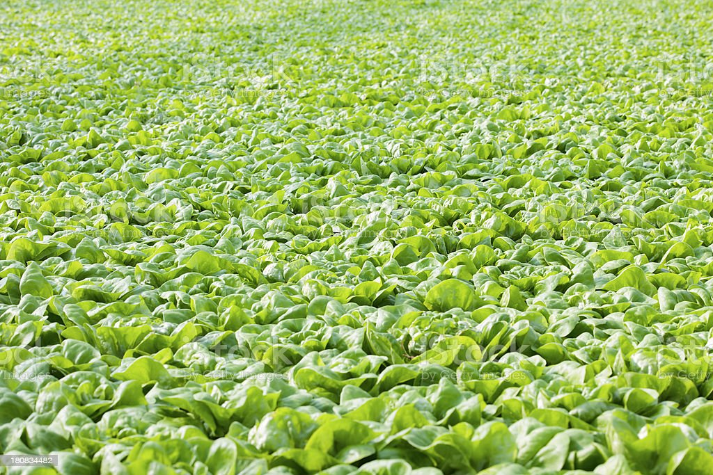 cultivation of cabbage lettuce royalty-free stock photo