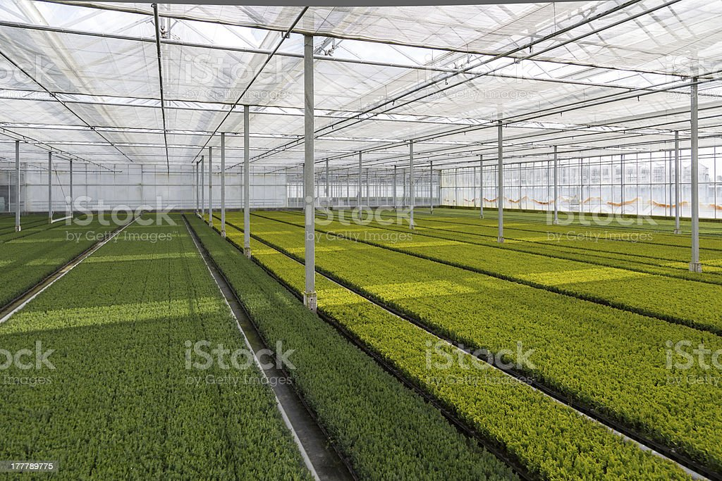 Cultivation of cupressus in a Dutch greenhouse royalty-free stock photo