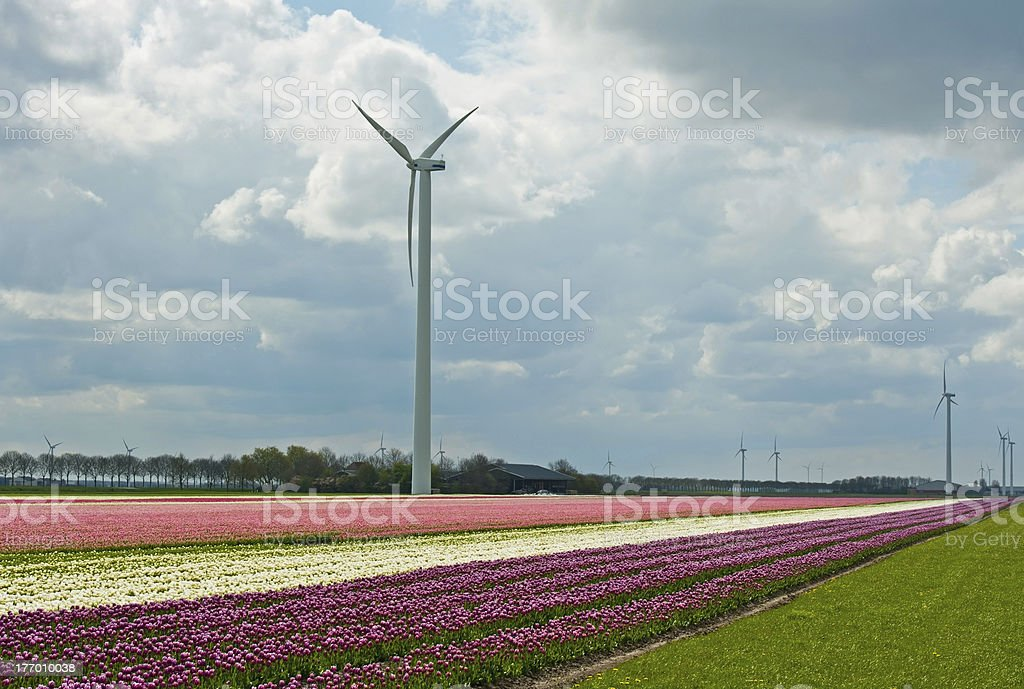 Cultivation of flower bulbs in spring royalty-free stock photo