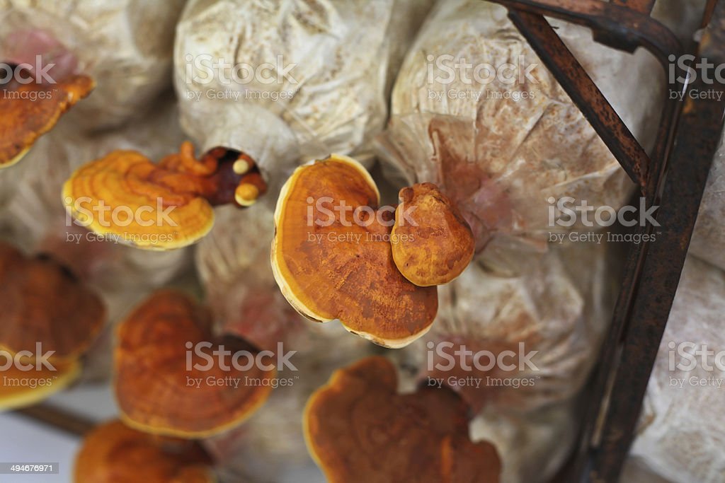 Cultivation of Ganoderma lucidum royalty-free stock photo