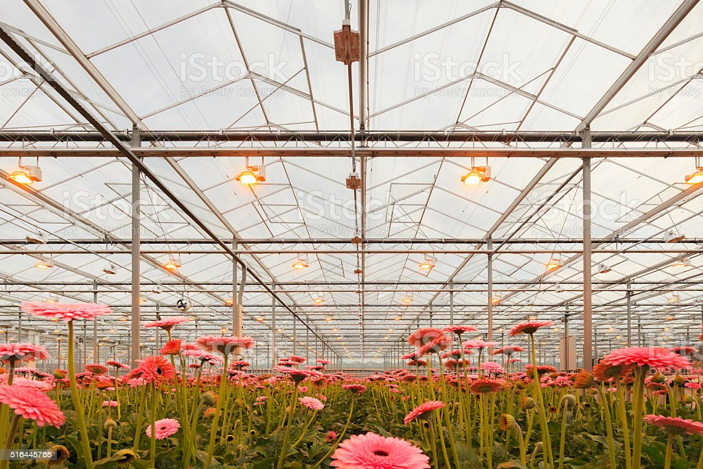cultivation of gerberas in an agricultural greenhouse stock photo