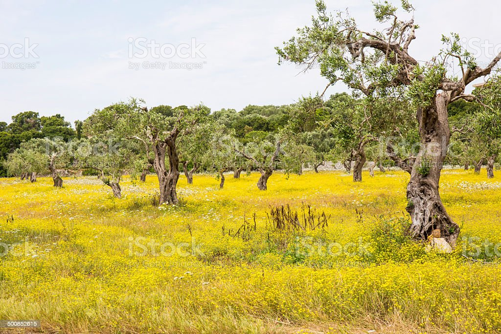 Cultivation of Olive trees and yellow flowers on the grass stock photo