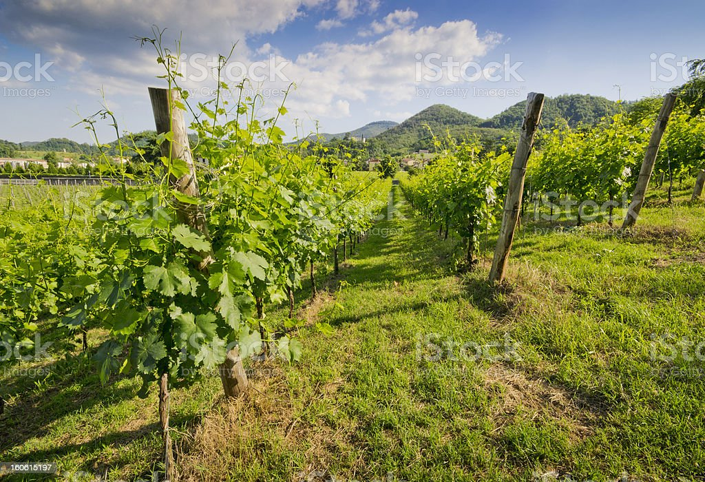 Cultivation of the vine royalty-free stock photo