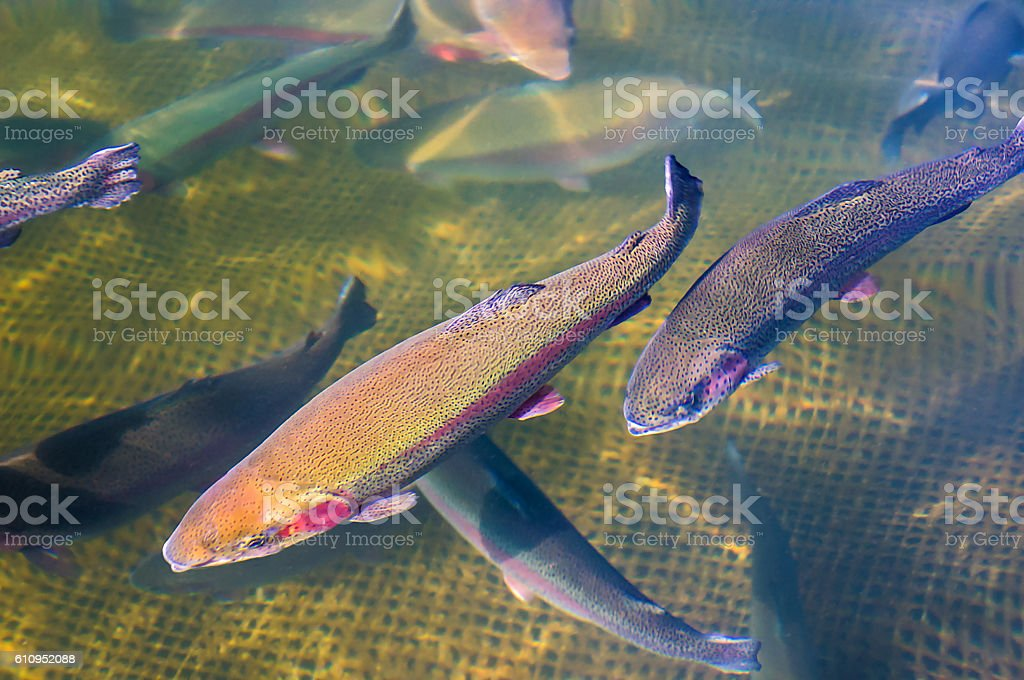 Cultivation of trout stock photo