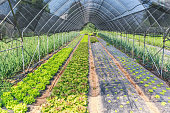 Cultivation salad into greenhouse