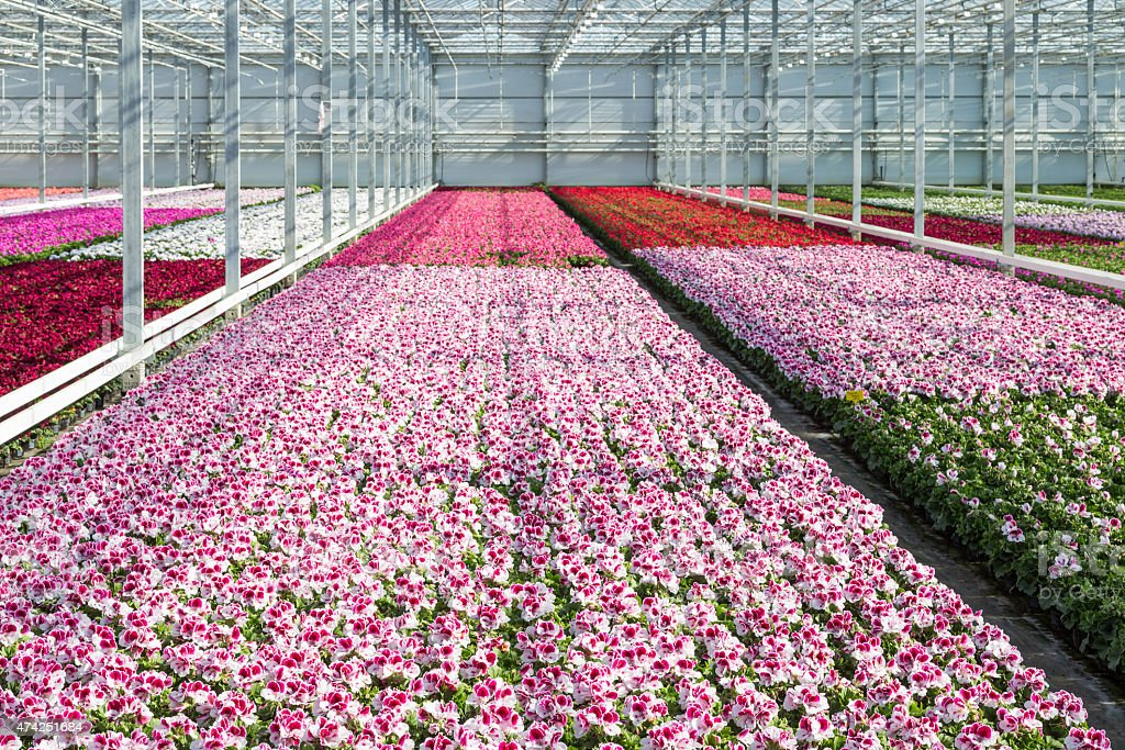 Cultivation white and purple geraniums in a Dutch Greenhouse stock photo