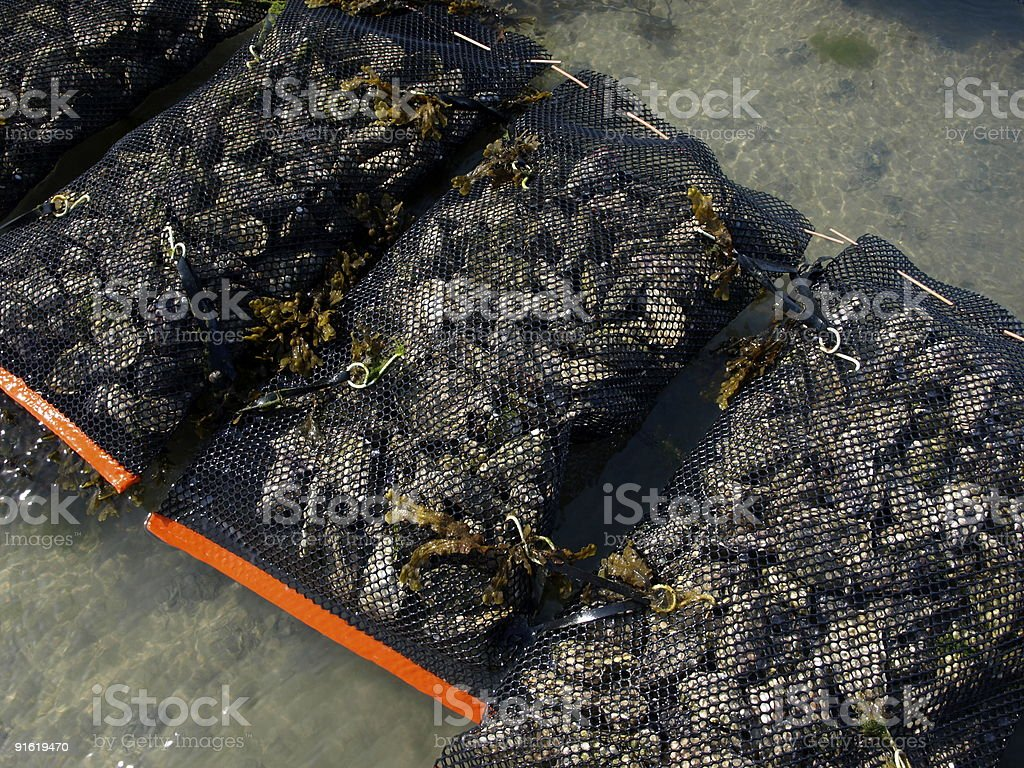Cultured Oysters,Grouville Bay,Jersey. stock photo