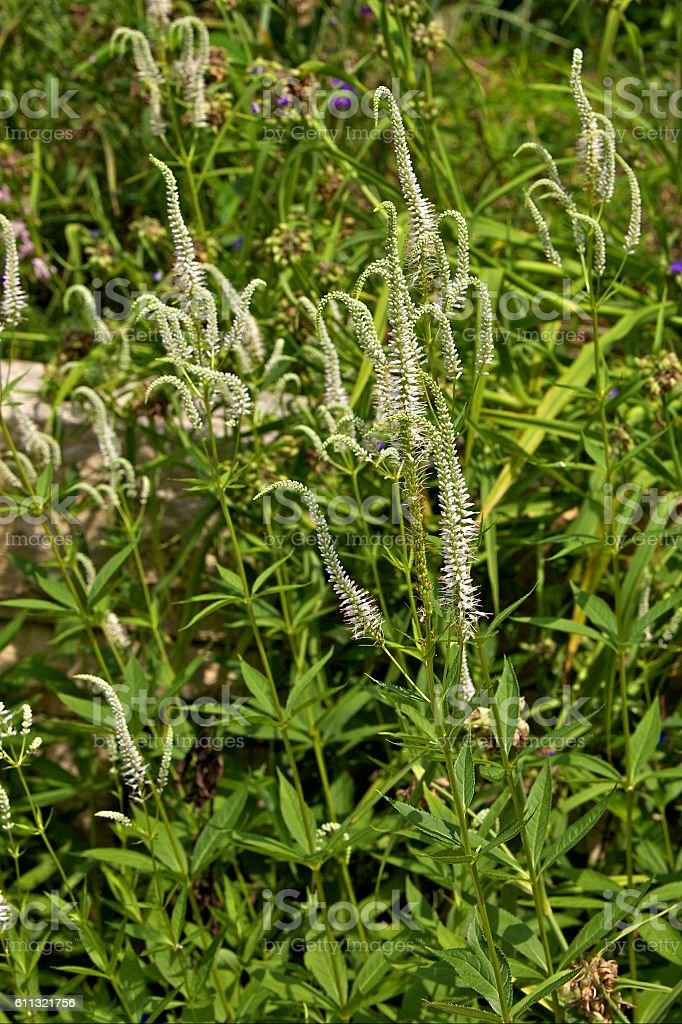 Culver's Root stock photo