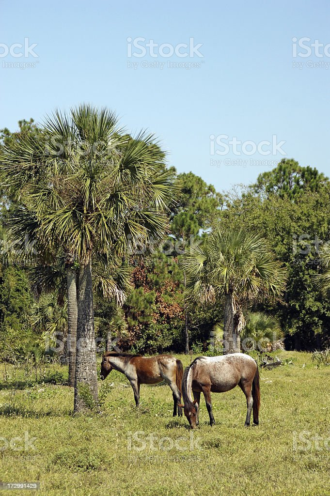 Cumberland Island Feral Horses royalty-free stock photo