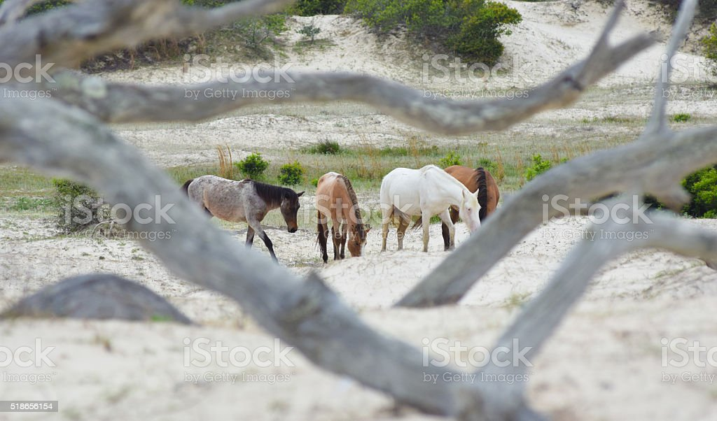 Cumberland Island, GA - Wild Horses in Dunes stock photo