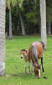 Cumberland Island, GA - Wild Horses