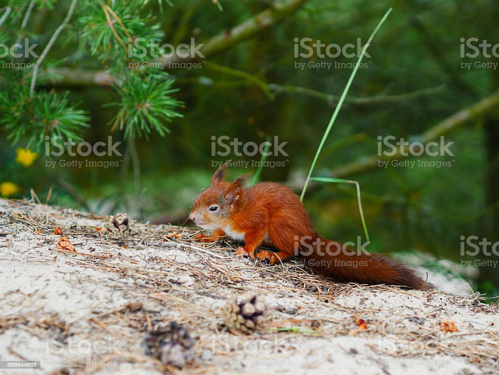 cunning look squirrel on natural forest backfround stock photo