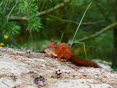 cunning look squirrel on natural forest backfround