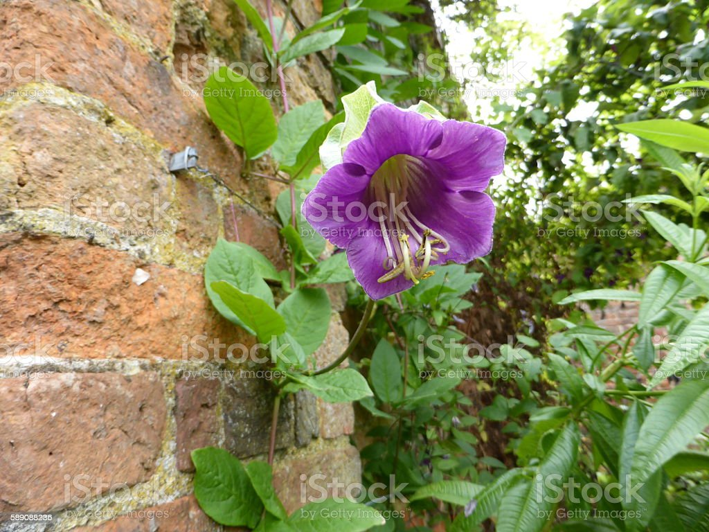 Cup and saucer vine Cobaea scandens stock photo