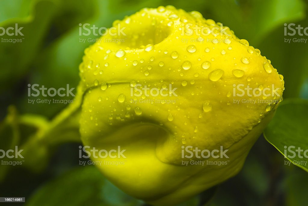 Cup Of Gold Bud royalty-free stock photo