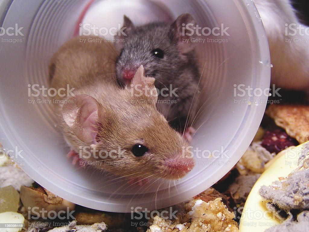 cup of mice royalty-free stock photo