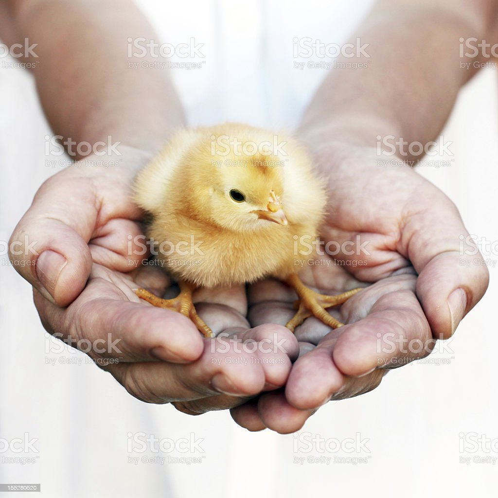 Cupped Hands holding a yellow chick stock photo
