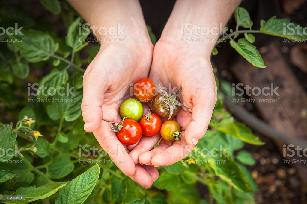 Cupping Cherry Tomatoes Picked From The Garden royalty-free stock photo
