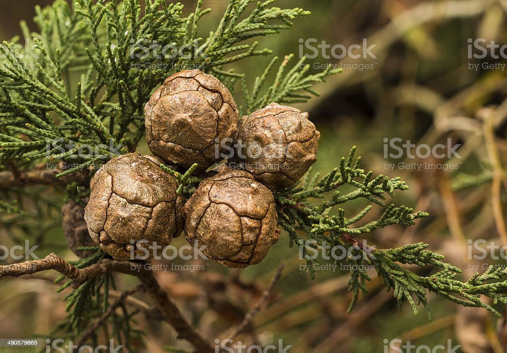Cupressus Macrocarpa Seed Pods stock photo