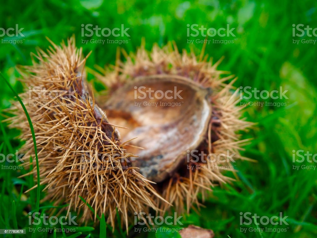 Cupule of chestnut on the grass stock photo