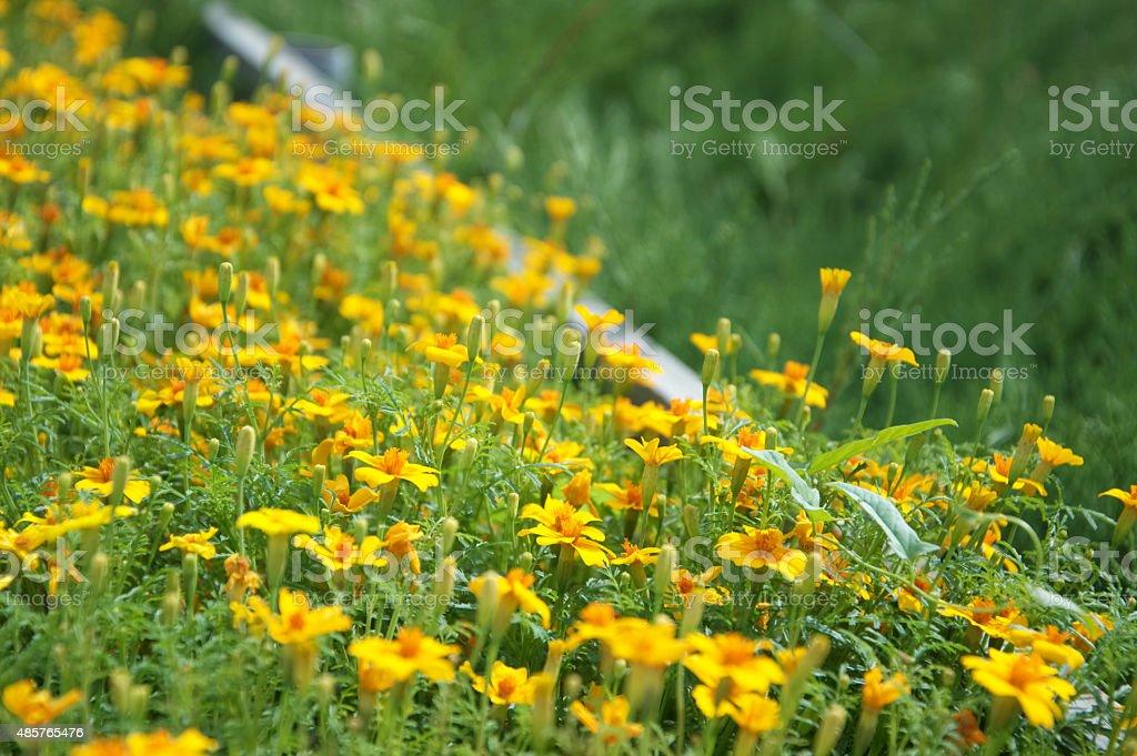 Curbing marigold stock photo