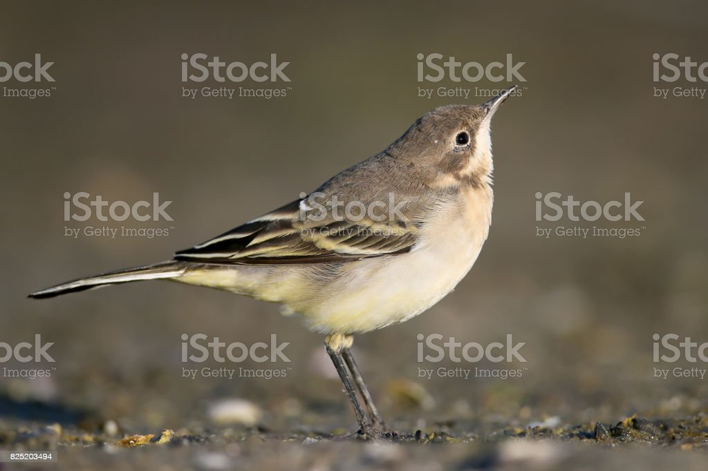 Curiose young yellow vagtail portrait stock photo