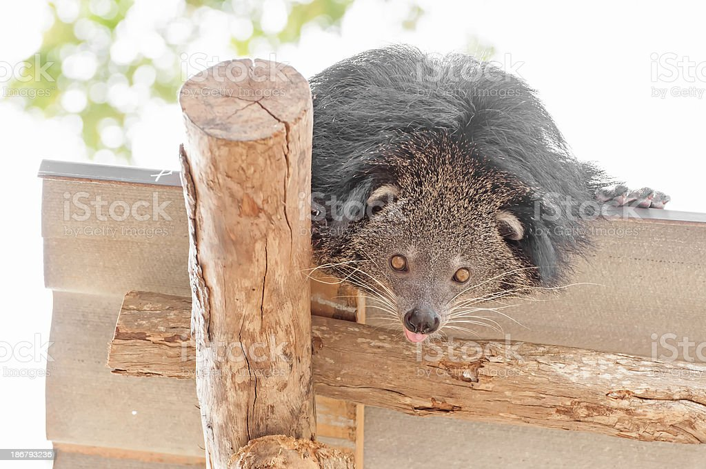 Curiosity bearcat on the roof. stock photo