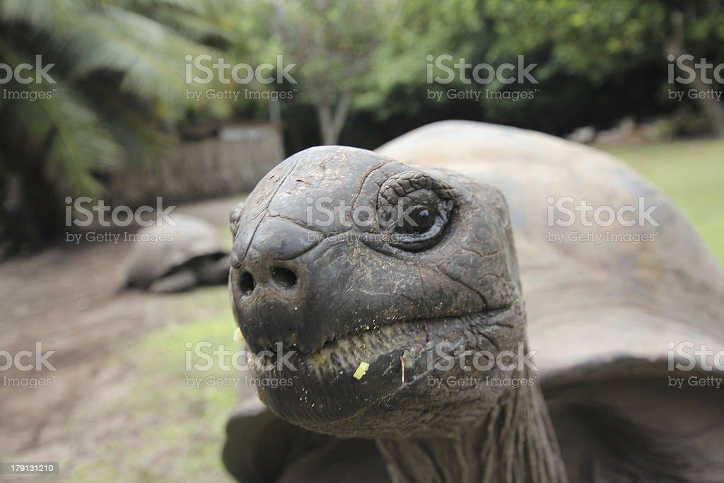 Curious Aldabra Giant Tortoise, Aldabrachelys gigantea, Seychelles royalty-free stock photo