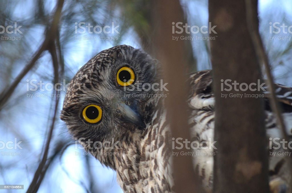 Curious Australian Powerful Owl stock photo