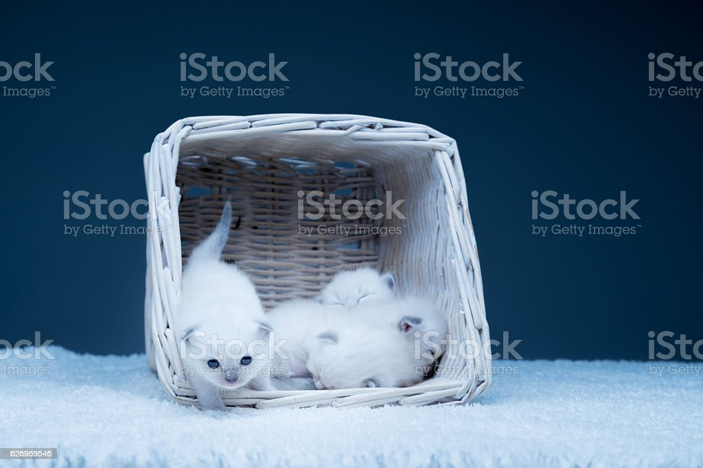 curious baby cat with siblings stock photo