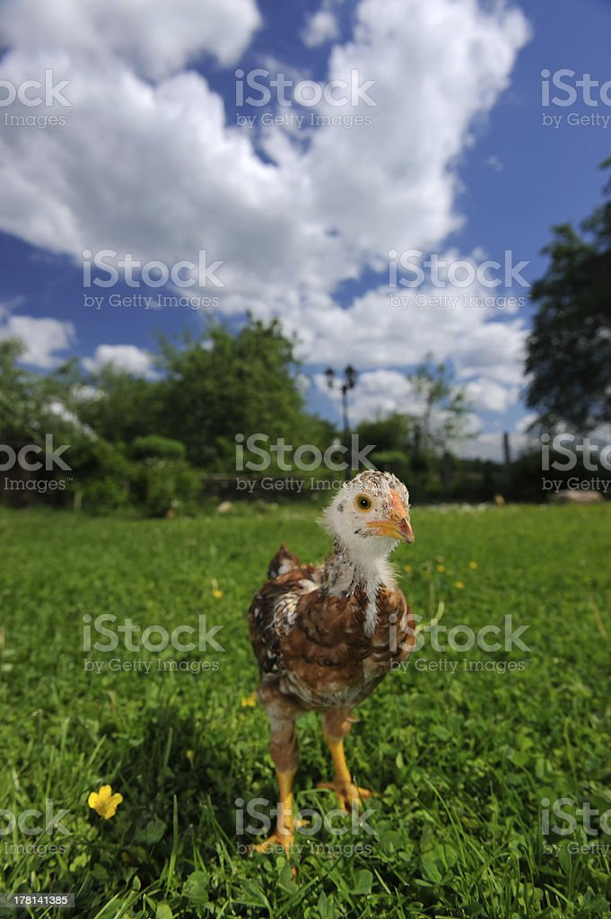 Curious Baby Chicken on Green Lawn royalty-free stock photo